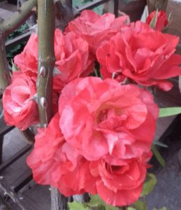 Picture of red roses